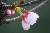 2016年3月29日(火)那賀川沿いの桜並木 開花情報