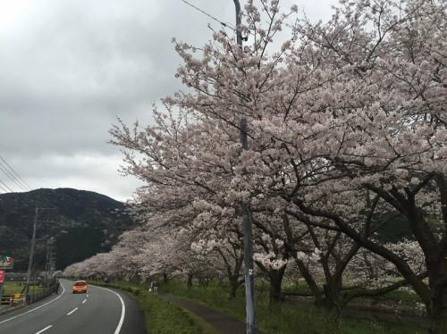2016年4月5日(火)那賀川沿いの桜並木 開花情報
