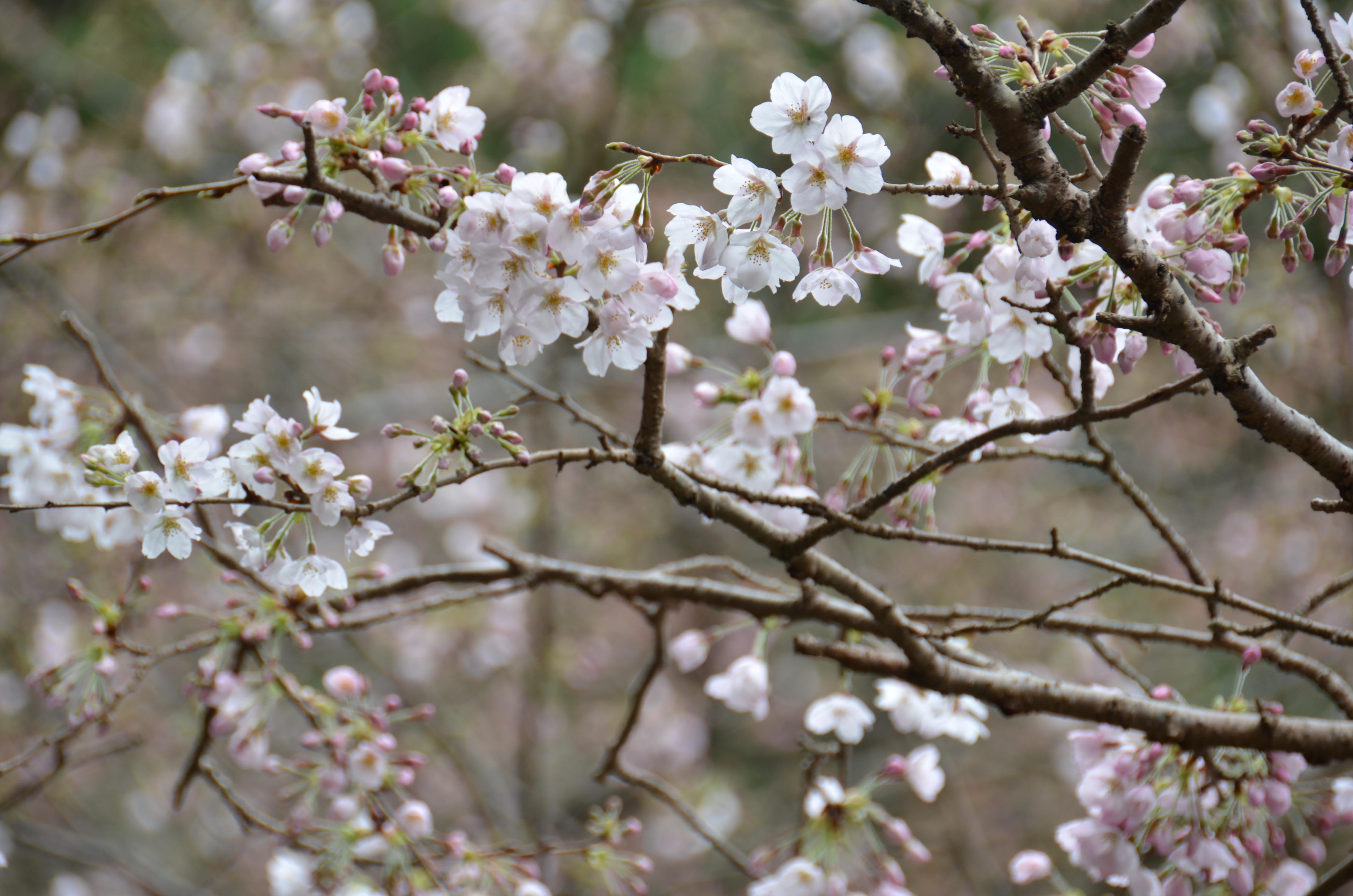4/1(土)松崎町ソメイヨシノ開花状況です。