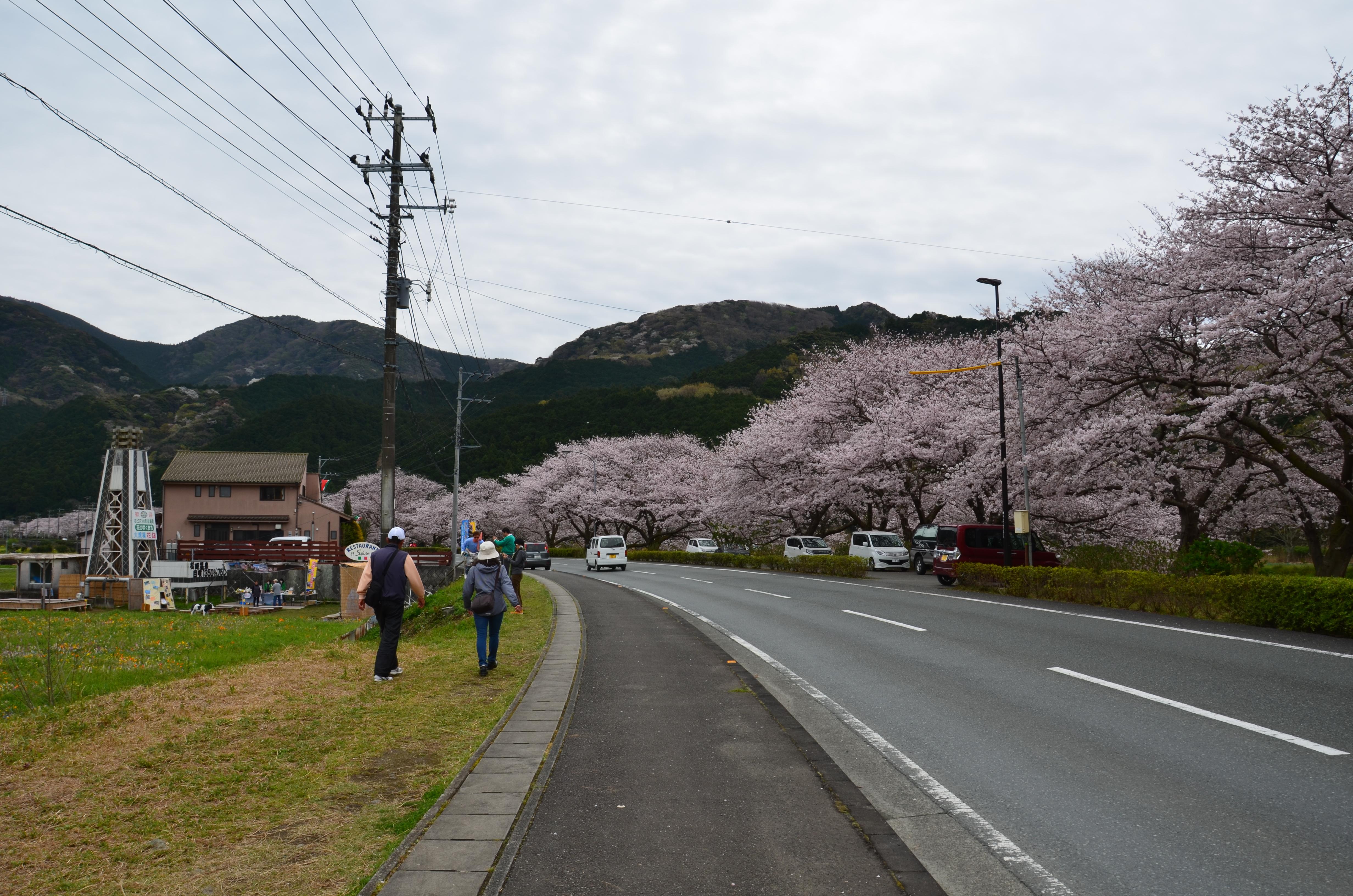4/10(月)松崎町ソメイヨシノ開花状況です。