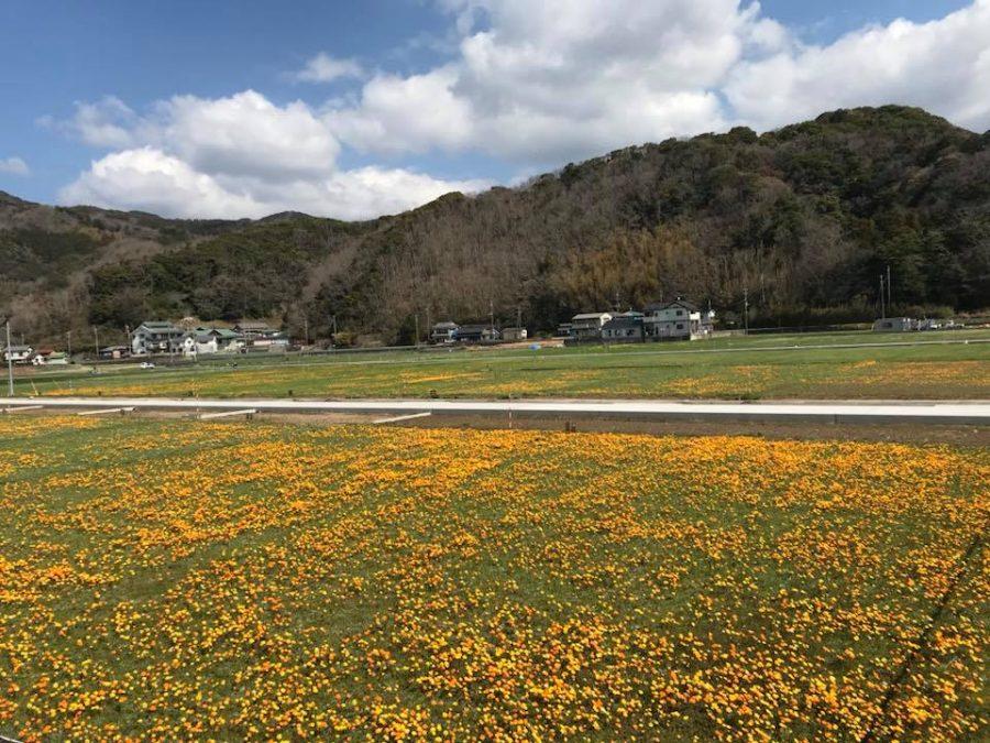 3/12(月)「田んぼをつかった花畑」開花情報です。