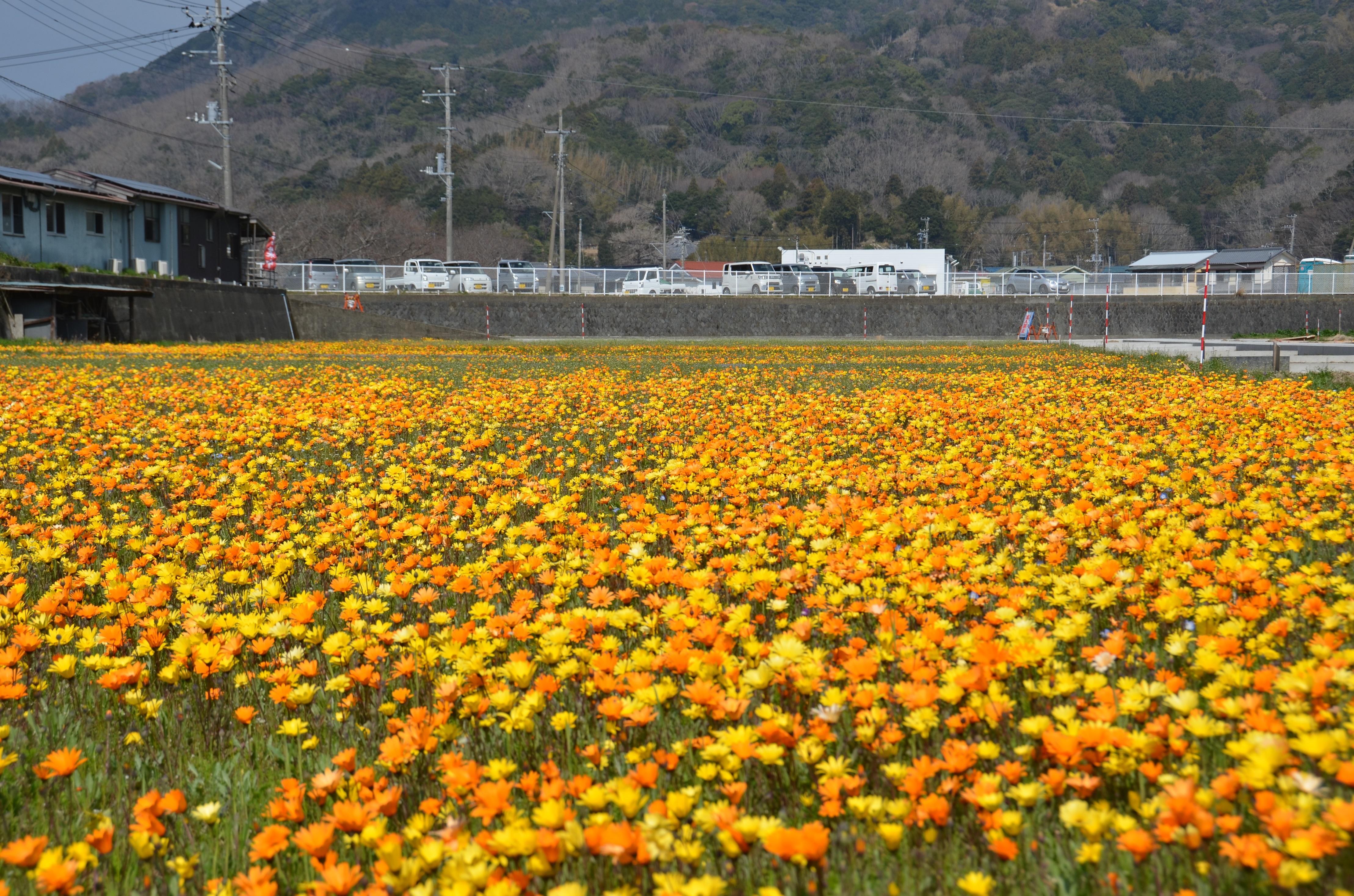 3/15(木)「田んぼを使った花畑」開花状況です。
