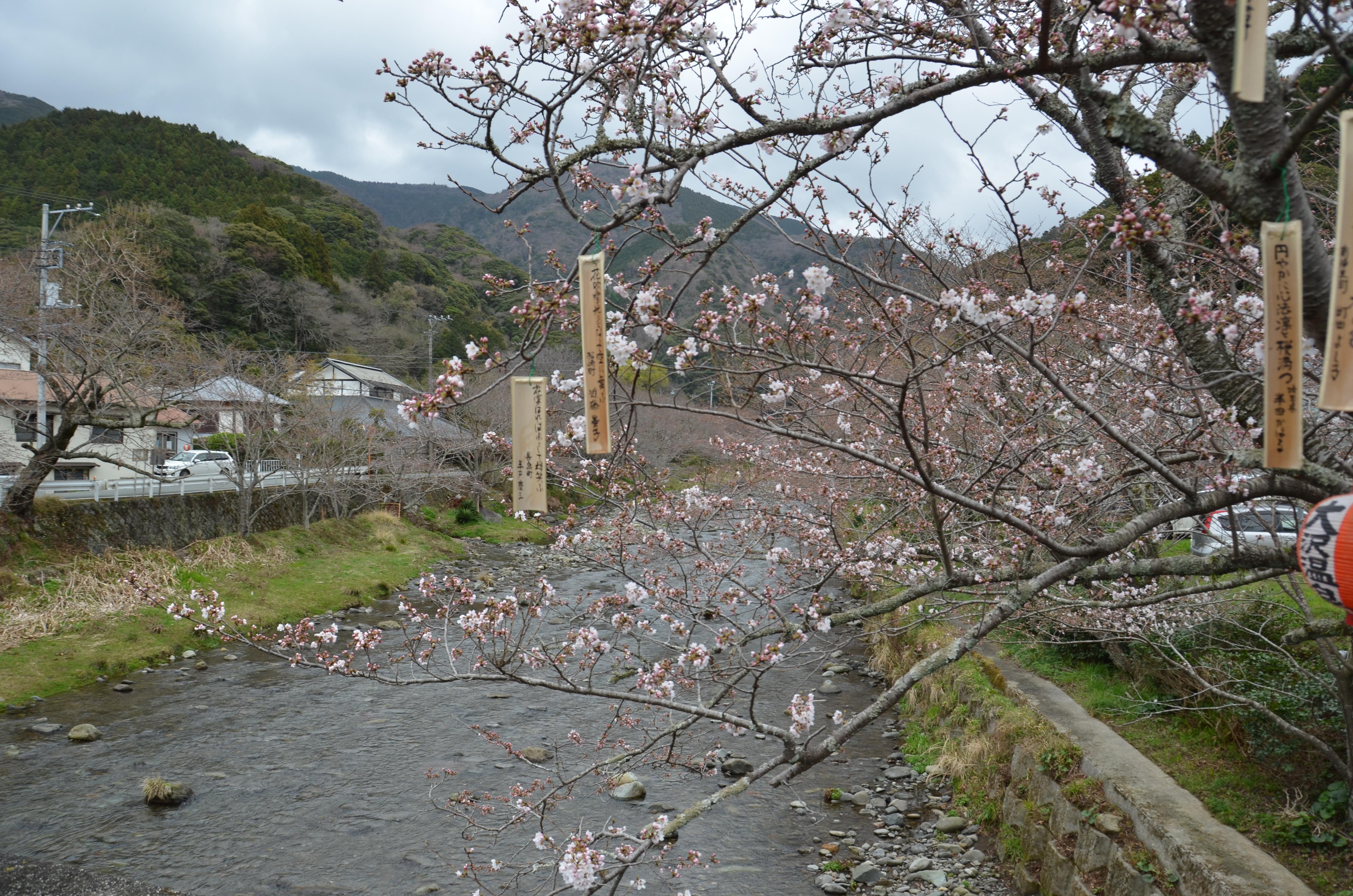 3/19(月)松崎町ソメイヨシノ開花状況です。
